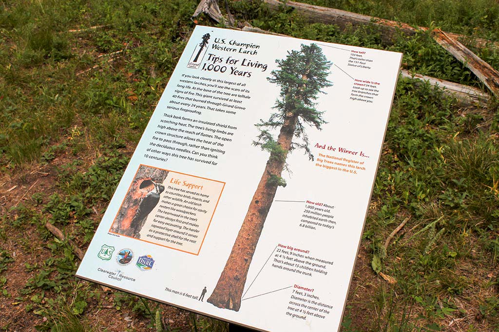 A short walk in the grove will lead to this signage found at the base of the champion tree.