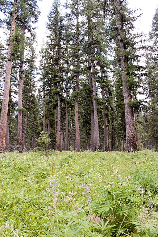 Girard Grove is one of the finest remaining stands of Western Larch in the United States.